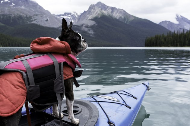 Boston Terrier Dog in Kayak on Maligne Lake, Jasper National Park