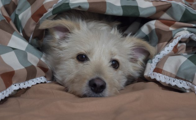 Cute mixed breed dog is lying on bed covered with blanket and looking at camera. Pet looks sad and suppressed. Offending puppy hiding under the blanket. Funny domestic animal scene.