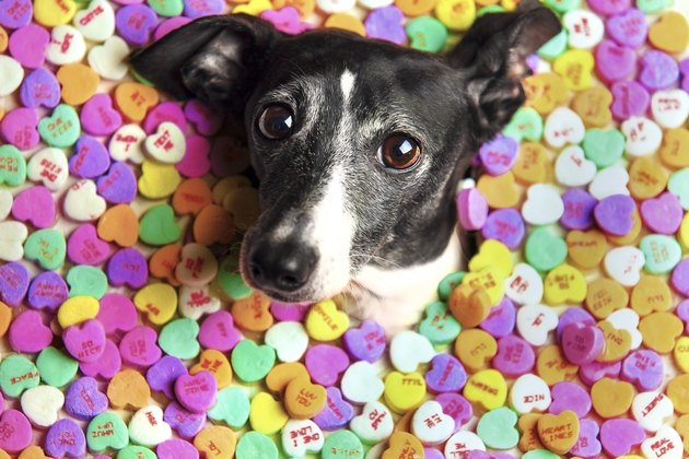 italian greyhound dog surrounded by candy hearts for Valentines Day