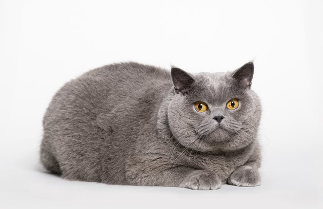 Big British Shorthair Cat