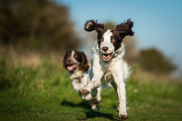 Two Spaniels running in field