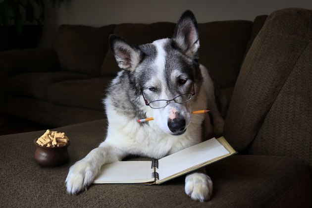 Malamute dog concentrating with a pencil in its mouth on a sofa