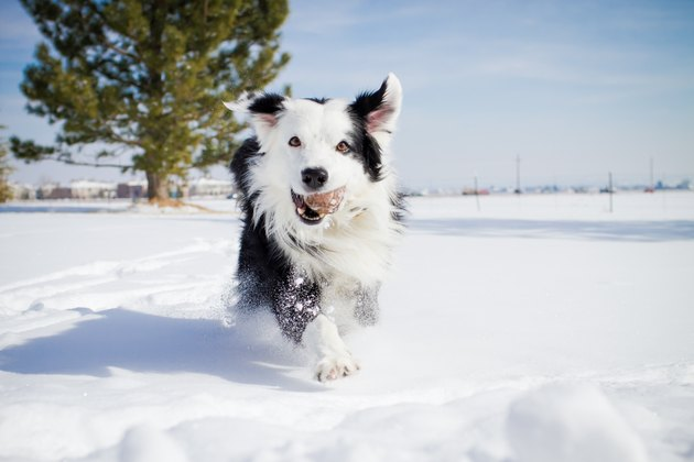 Dog Running in Snow with Tennis Ball