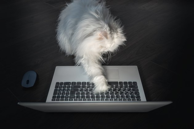 Curious White Persian cat trying to use a laptop