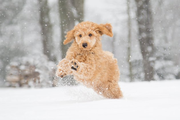 Poodle jumping in the snow
