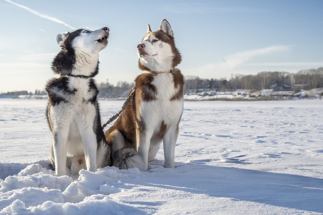 Husky dogs on winter walk. Siberian husky howls, brown husky looks at him. Winter Sunny landscape.