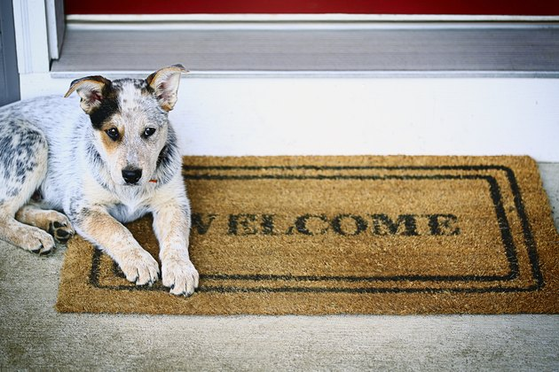 Blue Heeler puppy laying on welcome mat on porch