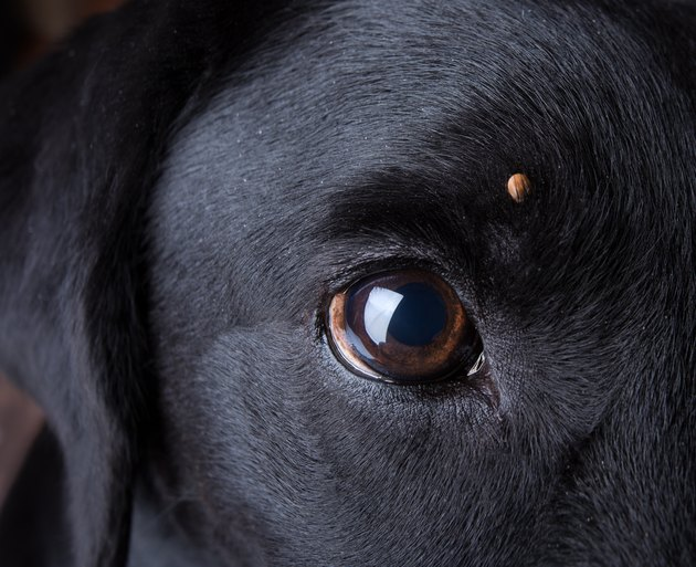 Tick on a dog