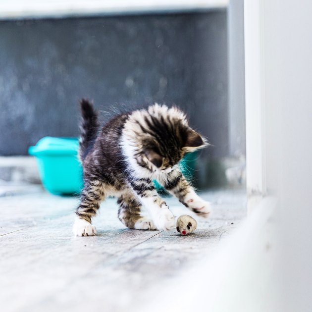 Little Siberian Breed Cat Playing