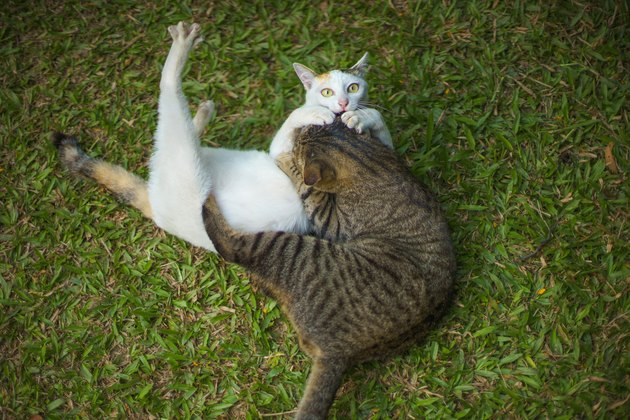 Top view of Two Cats fighting ot playing together on grass.