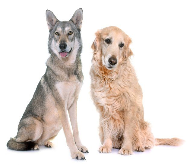 Saarloos wolfdog and golden retriever