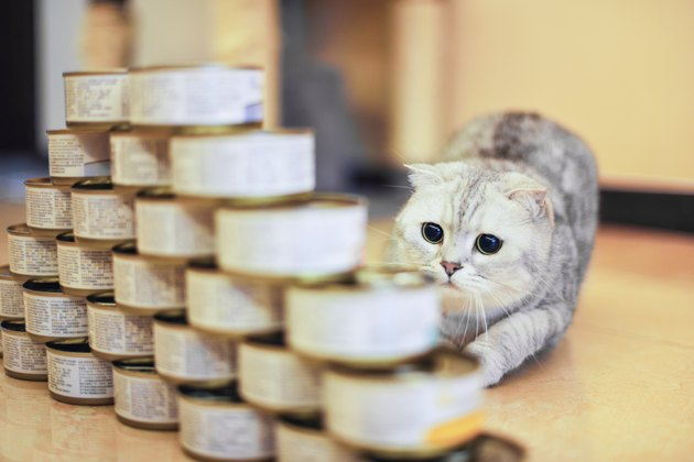 gray shorthair cat with food can