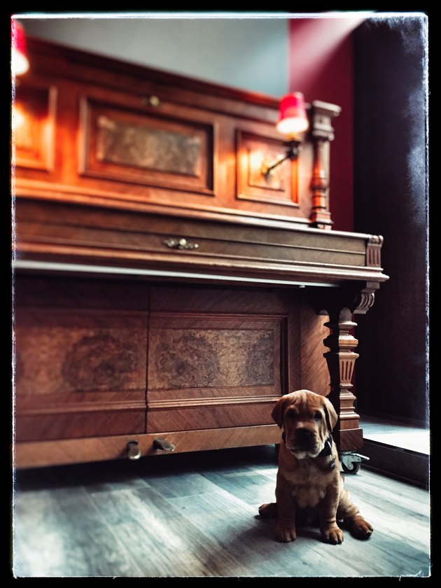 Pug Dog Siting In Front Of Piano