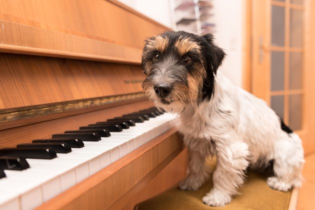 Cute musical little dog is sitting at the piano - Jack Russell Terrier