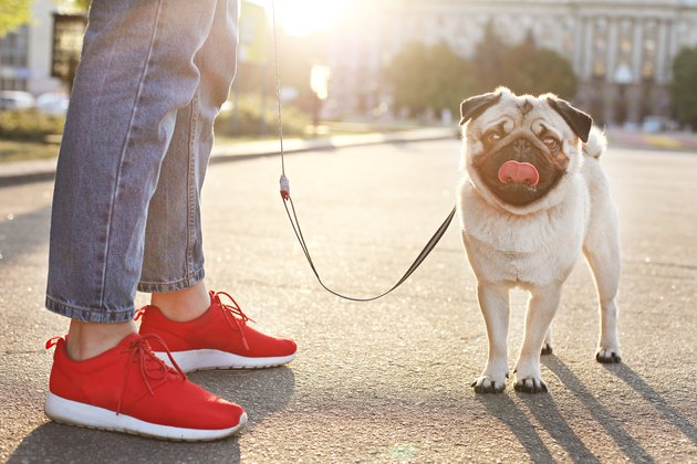 cute pug with tongue out on leash