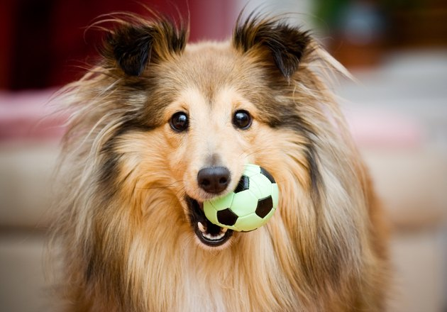 A Sheltie puppy playing with a small green and black ball