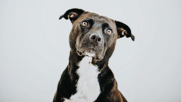 Black Dog against white backdrop