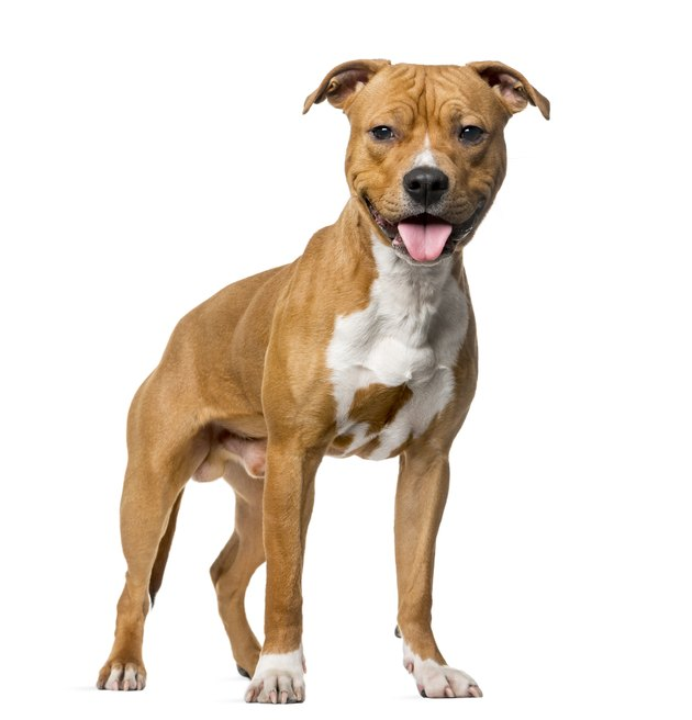 American Staffordshire Terrier (8 months old)