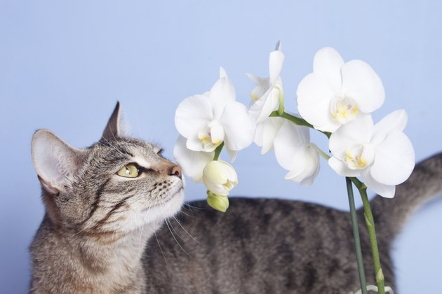 Tabby cat sniffing flowers of white orchids