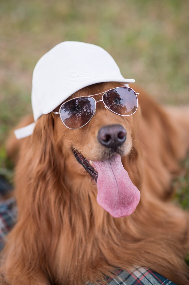 golden retriever with hat and sunglasses