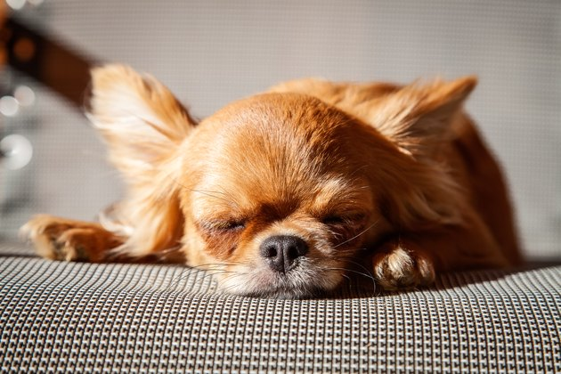 small Chihuahua sleeping in the sun