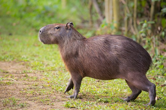 Capybara walking on land