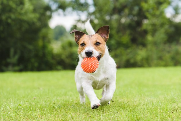 Funny dog playing with orange toy ball
