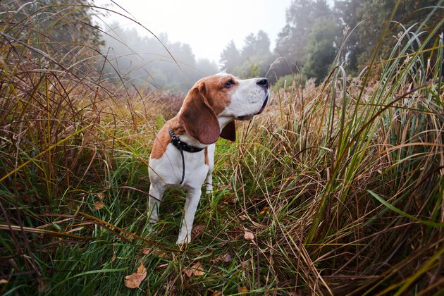 Small beagle in tall grass in forest