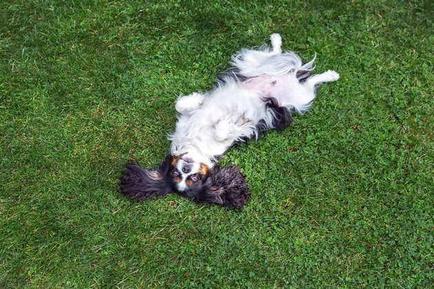 Happy dog lying upside down on grass