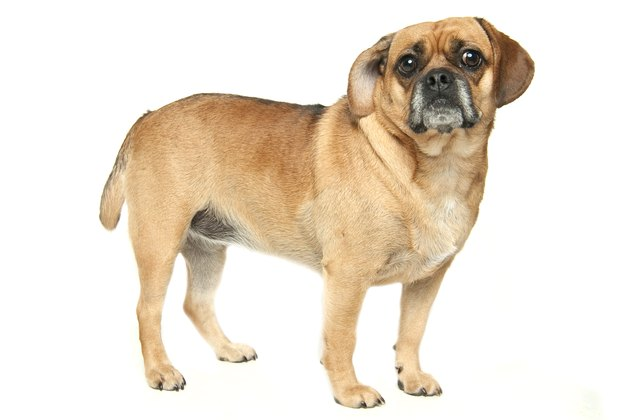 Puggle dog on white background