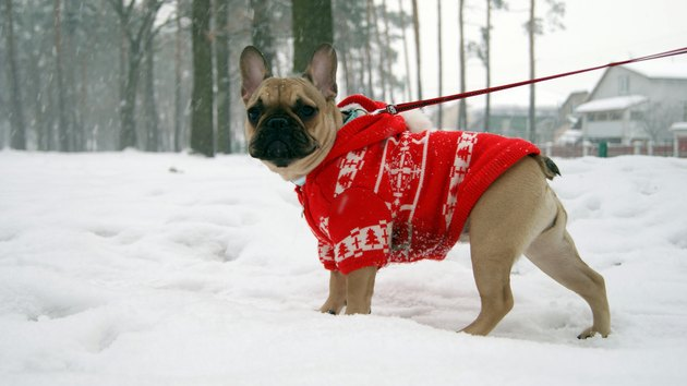 French bulldog in red jacket