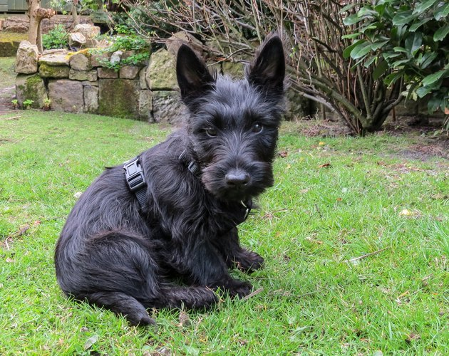 Scottish terrier puppy dog sitting in a garden.