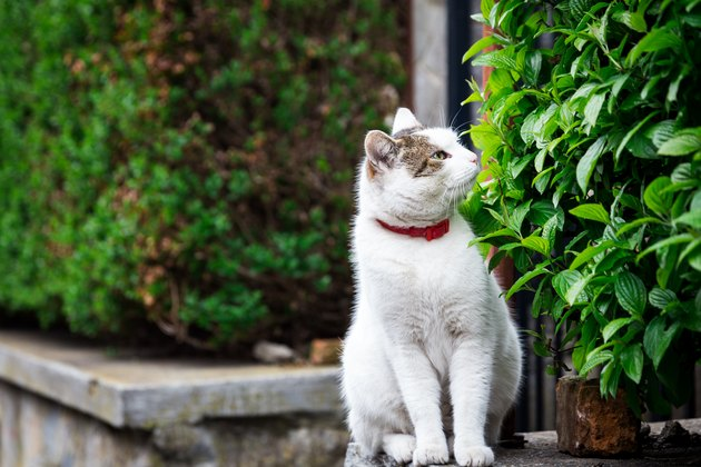 Fluffy white cat sitting on a wall outdoors and smelling the surrounding leaves and foliage