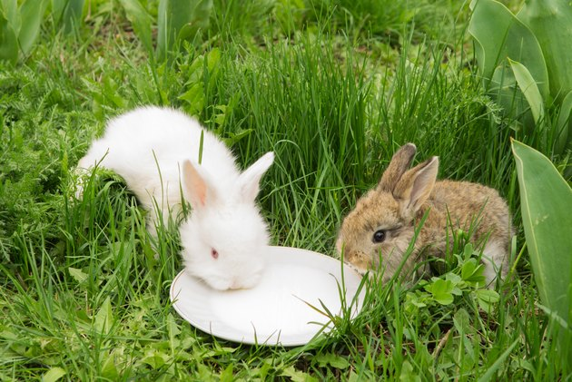 rabbits drinking milk from a saucer on a green grass