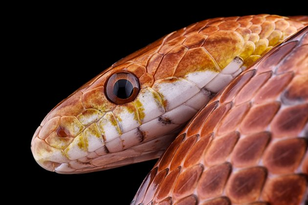 Portrait of corn snake, Pantherophis guttatus, in front of black background