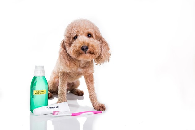Pet dog with toothbrush, toothpaste and mouthwash oral care conncept