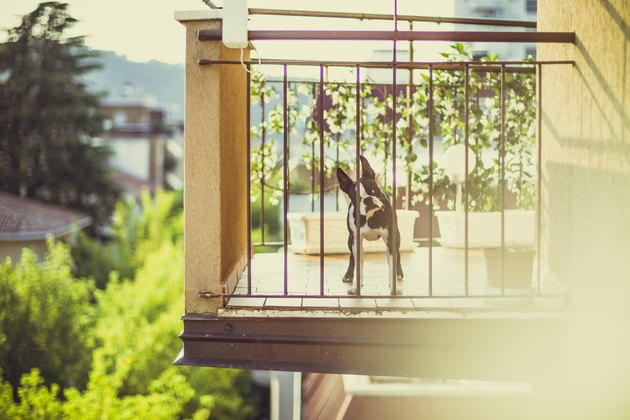 Boston terrier on balcony
