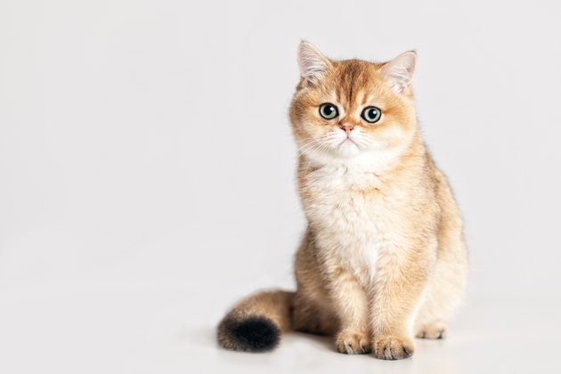 British Shorthair kitten in front of a white background
