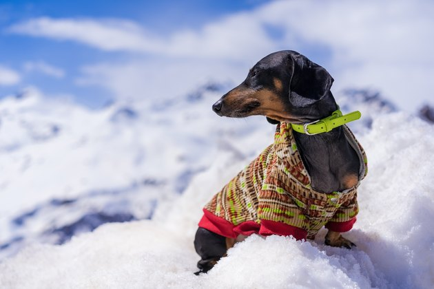 dog of the dachshund breed, black and tan, collar and color sweater, in snow mountain landscape.