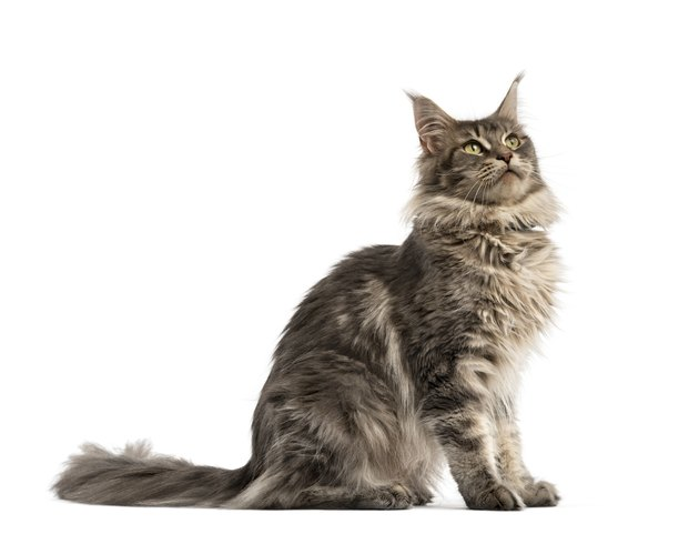 Side view of a Maine coon sitting isolated on white
