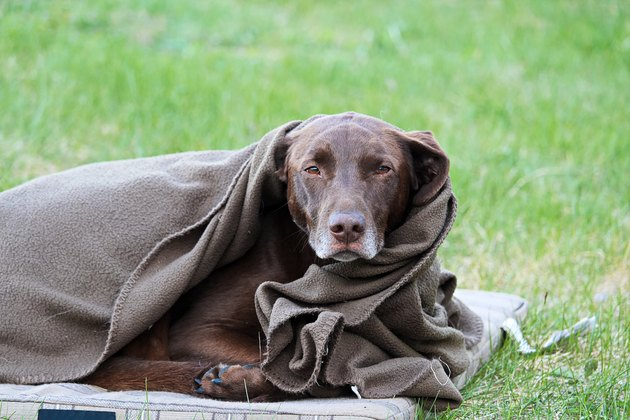 A cold dog wrapped in a blanket