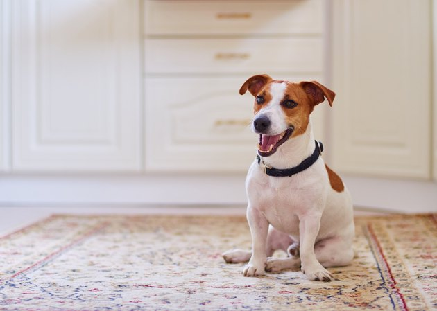 Cute dog jack russel terrier sitting in the kitchen floor