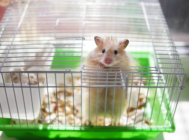 A hamster is in a cage. The hamster looks out of the cage.