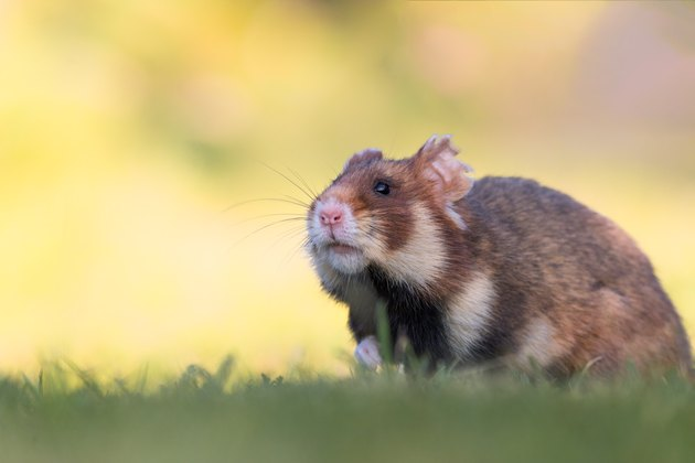Close up of hamster on grass