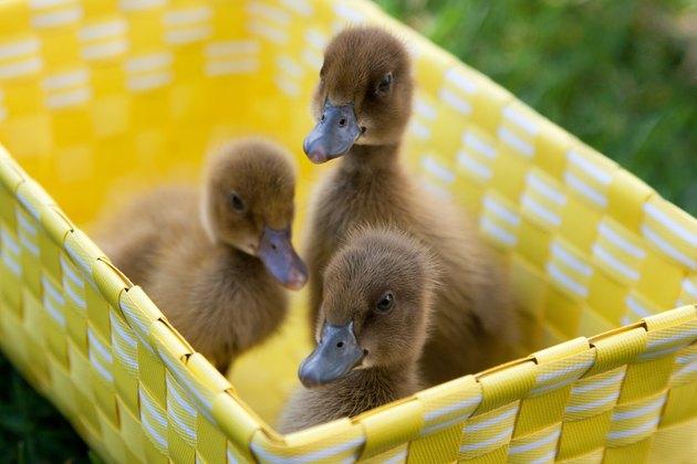 Spring Ducklings