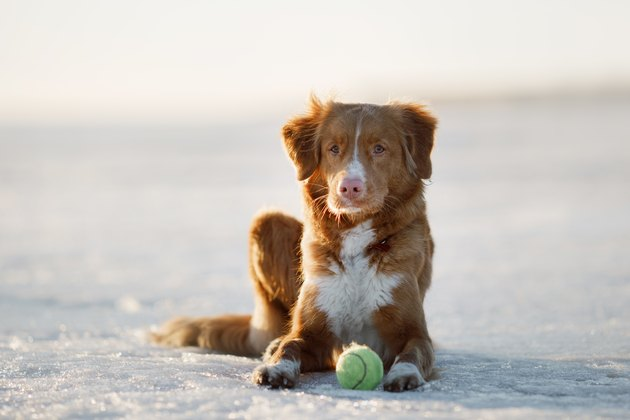 Nova Scotia Duck Tolling Retriever Dog on ice