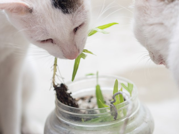 Close up of Cat Eating Grass
