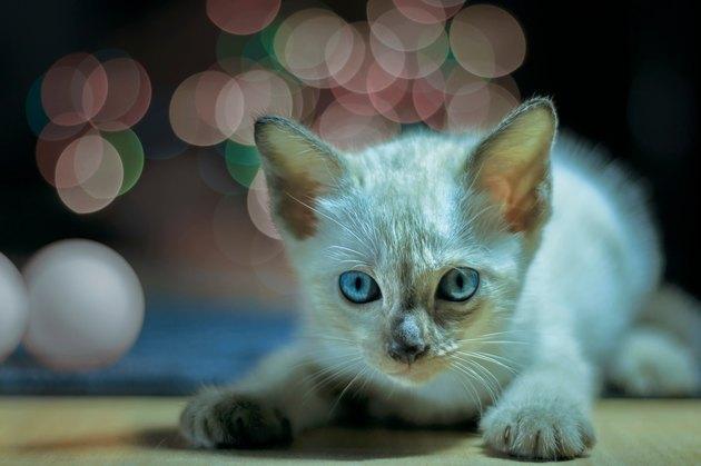 Close-Up Portrait Of Kitten On Floor At Night