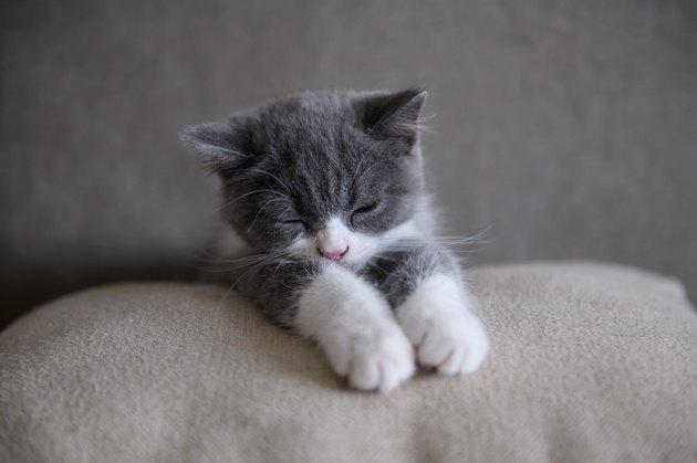 Cute British short Hairy cat