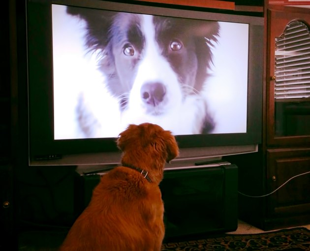 dog watching other dog on TV